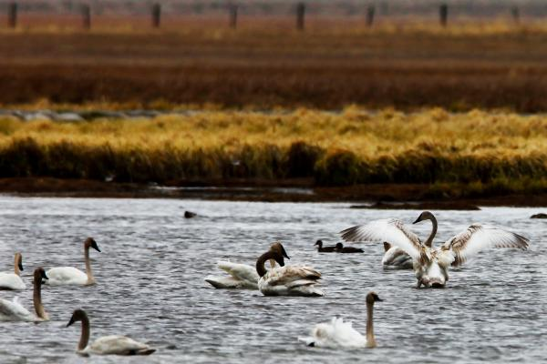 Trumpeter swans cruise a lake in Centennial Valley. Swan populations recovered in the valley years ago after ecologists dammed streams to enlarge wetland habitat.