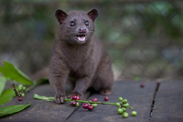 "In the wild, the civet ""cat"" is naturally drawn to the best, ripe fruits on the coffee plant; that's why, effectively, they would produce the best beans, in small batches."