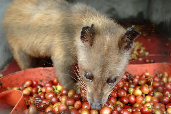 "In captivity, civets don't choose what they eat. ""It's unripe and it's robusto,"" says coffee connoisseur Oliver Strand, dismissing it: ""That's of zero interest."" Robusto coffee, he explains, is indigenous to Africa, and not what the animal would eat in the wild."
