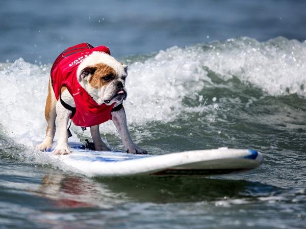 2013 Best in Surf Winner: Dozer the bulldog.