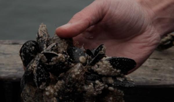 Eating mussels like theses caused a Washington family to contract the first confirmed case of diarrhetic shellfish poisoning in the United States.
