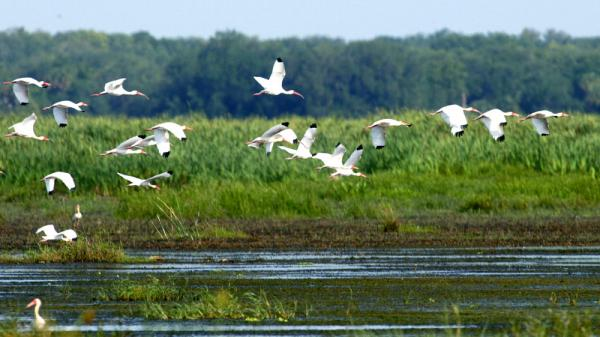 A flock of ibis flies at the Oak Creek Marsh, a former cattle pasture near the Kissimmee  River, the headwaters of Florida's Everglades.