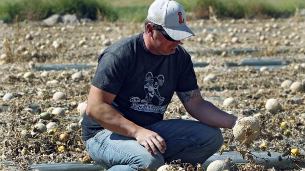 <p>Owner Eric Jensen examines cantaloupe on the Jensen Farms near Holly, Colo., last month.</p>