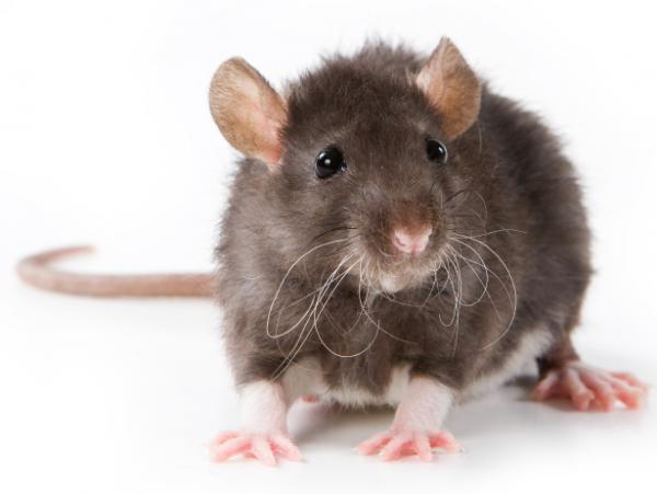 A new study finds that rats will intentionally work to free a trapped pal.
