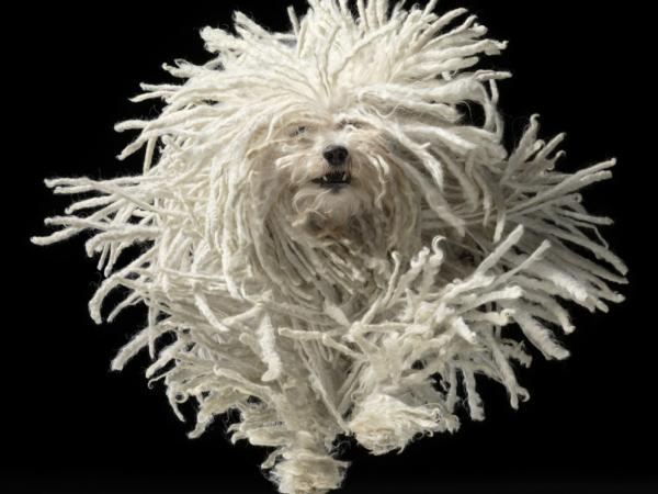 A Puli leaps toward the camera