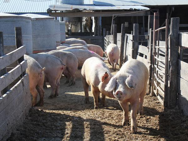 Struthers raises about 4,500 pigs for meat every year.