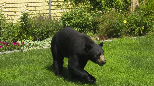 A black bear enjoys the landscaping of a Northampton, Mass., resident's yard. Northampton has been dealing with an unusual number of bears this year.