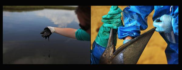 Left: A worker collects oil for research purposes in Bay Jimmy, off Grand Isle, La., June 15, 2010. Right: A pelican drenched in oil is cleaned at the Fort Jackson Oiled Wildlife Rehabilitation Center in Buras, La., June 11, 2010.