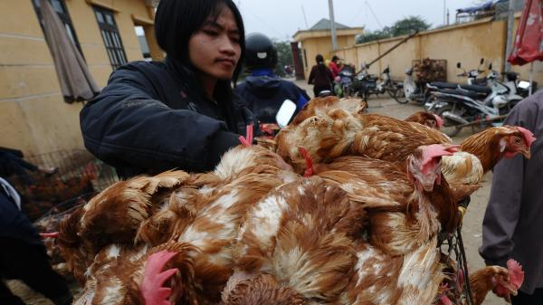 Vietnam has contained the fatal bird flu cases that raged in the late 2000s, but it is still struggling with new cases of the virulent disease. Here, a poultry trader loads live chickens onto his motorbike on March 16 at a market outside Hanoi.