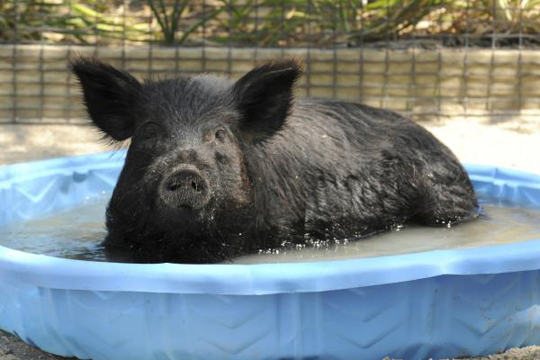 In this photo provided by the Chicago Zoological Society, Honey, a 2-year-old American Guinea hog at the Brookfield Zoo in Brookfield, Ill., cools off.