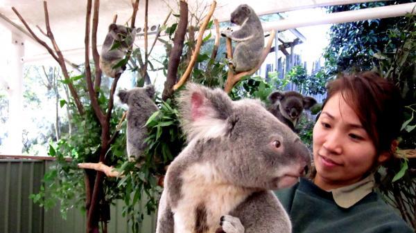 A male koala visits the female enclosure at the Lone Pine Koala Sanctuary in Brisbane, Australia. Koalas are dwindling in number as their habitat along Australia's east coast gives way to urban growth.