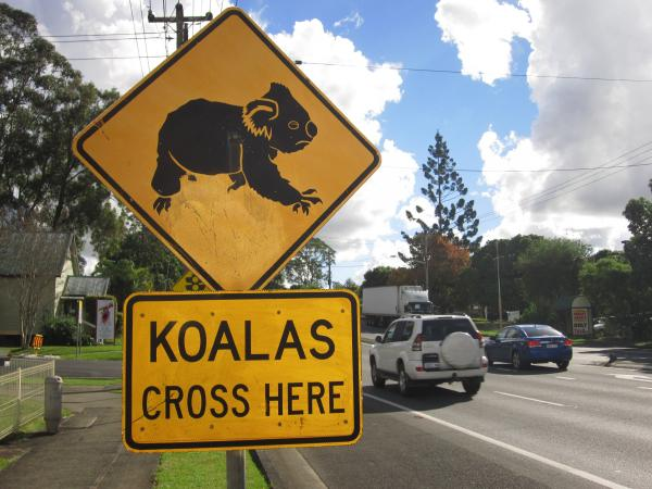 The biggest threat to Australia's koalas is loss of habitat, says Friends of the Koala President Lorraine Vass.