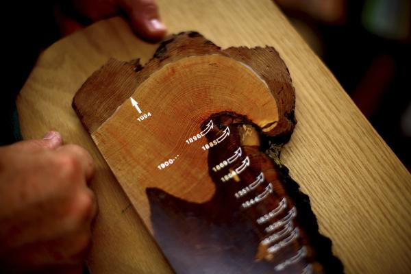 Swetnam holds a tree ring sample; it shows no forest fire scars from the past 100 years. The Forest Service's aggressive efforts to fight fires over the past century have had unintended consequences.