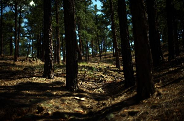A thinned and treated forest in the Sangre de Cristo mountains, near the Santa Fe watershed. To effectively protect against wildfire threats, the Forest Service needs to burn tree litter and other detritus that remain on the forest floor.