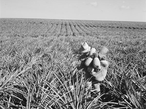 The Dole corporation bought Lanai in 1922 and used it as a pineapple plantation. Here, a worker on the plantation in 1955.
