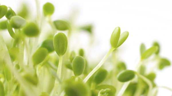 Red clover sprouts are pretty, but they and other sprouts have been linked to too much foodborne illness for major grocers to continue carrying them.