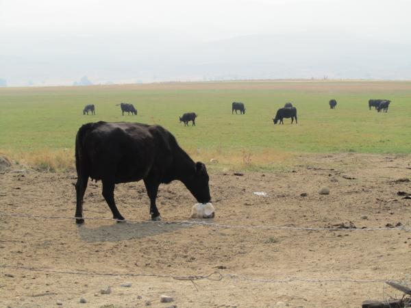An Angus cow licks a salt block in a field near Baker City, Ore.