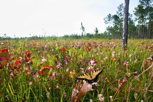 Eastern Tiger Swallowtail and pitcher plants, Splinter Hill Bog, Baldwin County.