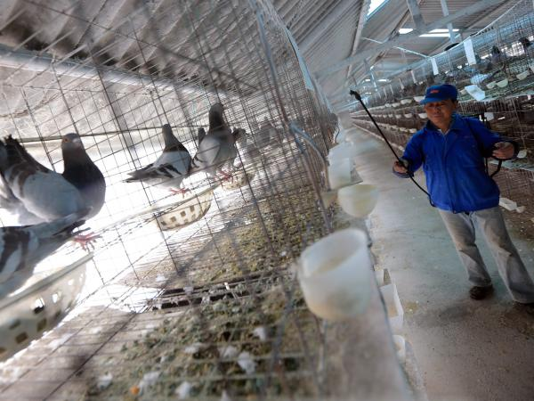 A worker disinfects a pigeon house Wednesday as a precaution against bird flu at XinRong dove-breeding factory in a suburb of Shanghai, China.
