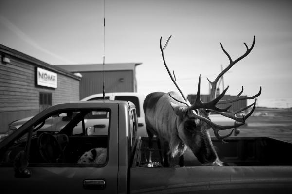 Velvet Eyes stands in the back of Carl Emmons' pickup truck, while a dog keeps watch in the front seat, in Nome, Alaska.