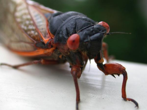 Cicada: It's what's for dinner?