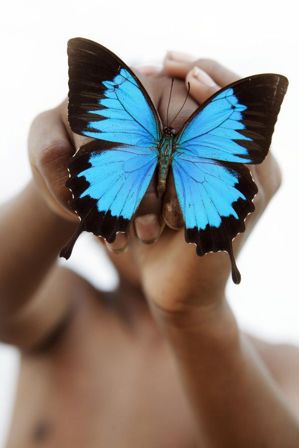 <em>Papilio ulysses</em>