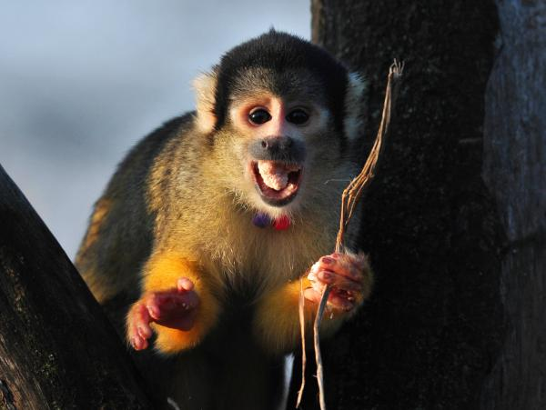 A squirrel monkey at the London Zoo, photographed in December.