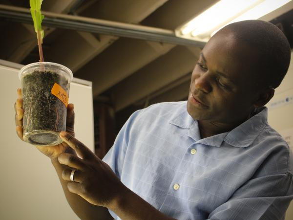 David Wangila points to a tiny rootworm larva in the soil surrounding the roots of a corn plant in his laboratory.