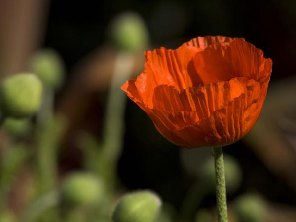 The opium poppy is the most common source of opium and morphine.