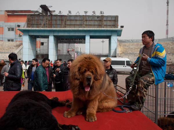 Close enough? A Tibetan mastiff, like this one, was placed in the African lion exhibit at a zoo in China's central Henan province.