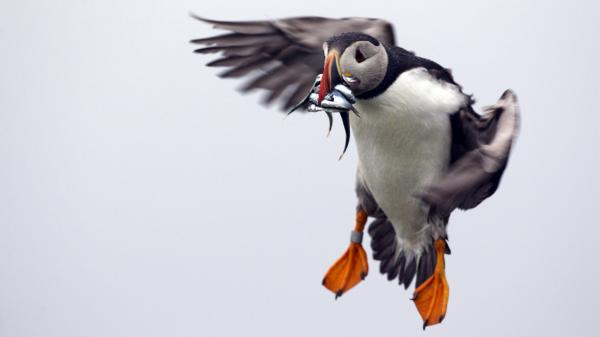 A puffin prepares to land with a bill full of fish on Eastern Egg Rock, off the Maine coast in July. Last year young puffins died at an alarming rate from starvation because of a shortage of herring.