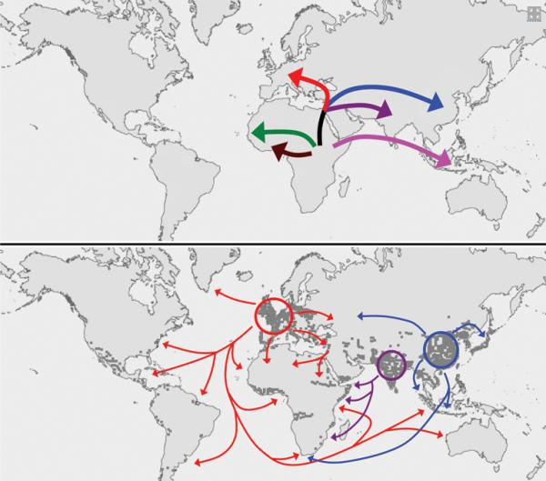 How tuberculosis conquered the world: TB bacteria accompanied people out of Africa about 50,000 years ago (top). These strains then spread around the world as people colonized Asia and the Americas (bottom).