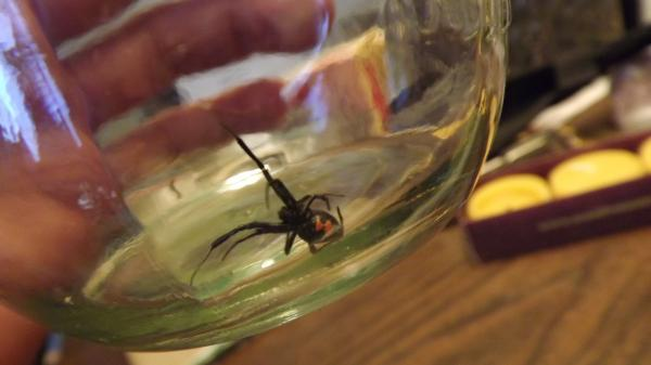 Nature writer Jackson Landers kept a black widow alive in a jar on his desk for months.