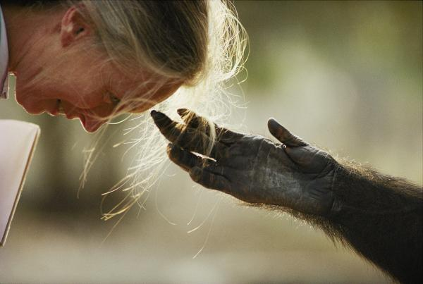 Brazzaville Zoo, Brazzaville, Republic of Congo. Jou Jou, captive chimpanzee reaches out its hand to Dr. Jane Goodall. 1990