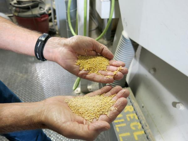 Before it can be eaten and digested by humans, millet needs to have a thin hull removed. Only a few millet processing facilities exist in the U.S.