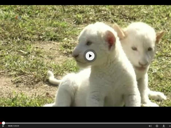 White lion cubs at South Korea's Everland zoo.