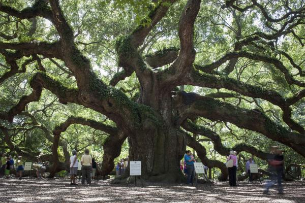 Visitors have flocked to the Angel Oak tree just outside Charleston, S.C., for generations. A local group has until late November to raise funds to buy a parcel of land that they say is needed to protect the live oak from development.