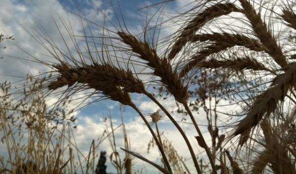 Organic wheat growing in a Southern Oregon field. Organic growers in that part of the state who wanted local ordinances to restrict genetically modified agriculture were dealt a setback this week by the Oregon Legislature.