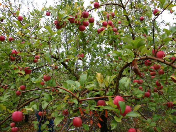 The Midwest Apple Improvement Association planted about 50,000 seeds as part of the development process for the EverCrisp. It takes four or five years before the resulting trees produce fruit.
