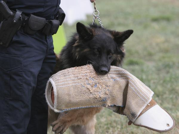 This dog holds the armor it has just ripped from its target until given the release command.