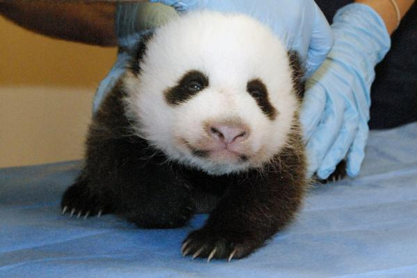 The panda cub now weighs 5 pounds. This photo was taken Tuesday.