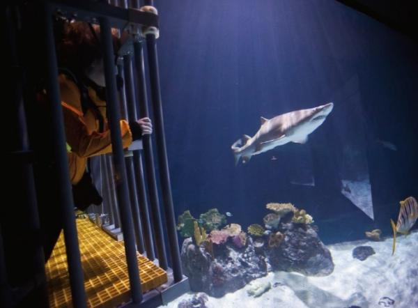A cage diver gets an up-close view of a shark swimming by in the South Pacific Aquarium.