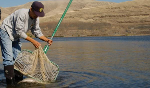 Joe Sammuels releases a steelhead into the Snake River. Biologists have been reconditioning the steelhead since April, preparing them to spawn once again.