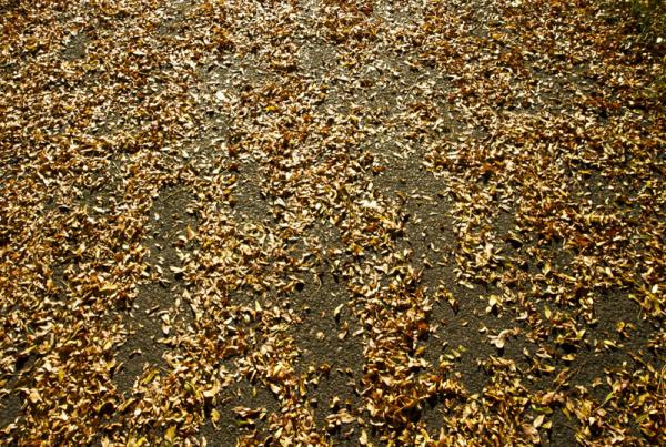 Fall leaves litter the ground at Cathedral Park beneath the St. Johns bridge.