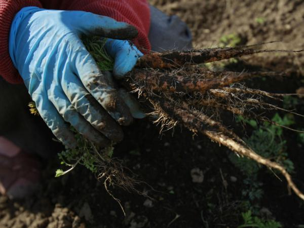 A woman picks carrots on her farm as she explains her fears that no one will buy them since the radiation fallout in March 2011 in Fukushima, Japan. A year later, challenges persist for farmers in the region.