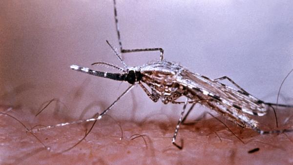 The <em>Anopheles stephensi</em> mosquito transmits the malarial parasite while dining on human blood. You can find this type of mosquito in Afghanistan, China, India, Thailand and the Middle East.