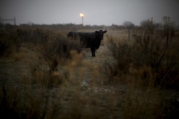 A cow stands in a pasture as a gas flare burns in the distance at a gas treatment and compression facility near Parachute, Colo.