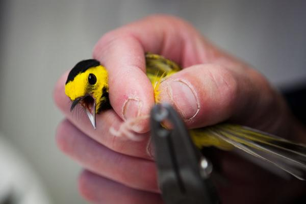 Experts say glass buildings kill millions of birds every year; scientists at Powdermill Avian Research Center are studying ways to help prevent this. Here, a volunteer tags a hooded warbler in Rector, Penn., in May.