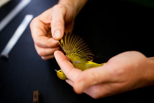 DeGroote examines the wing of a yellow warbler.