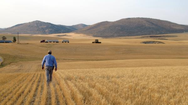Farmer Hans Hayden walks through his drought-stricken wheat field in Idaho. He says the wheat should be 3 feet tall by now.